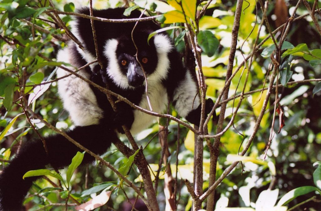 Day_1_Indri_Indri_in_tree_Andasibe