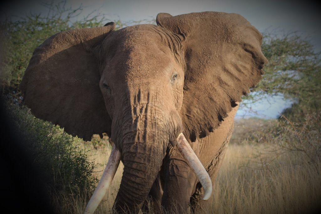 Elephant Kenya