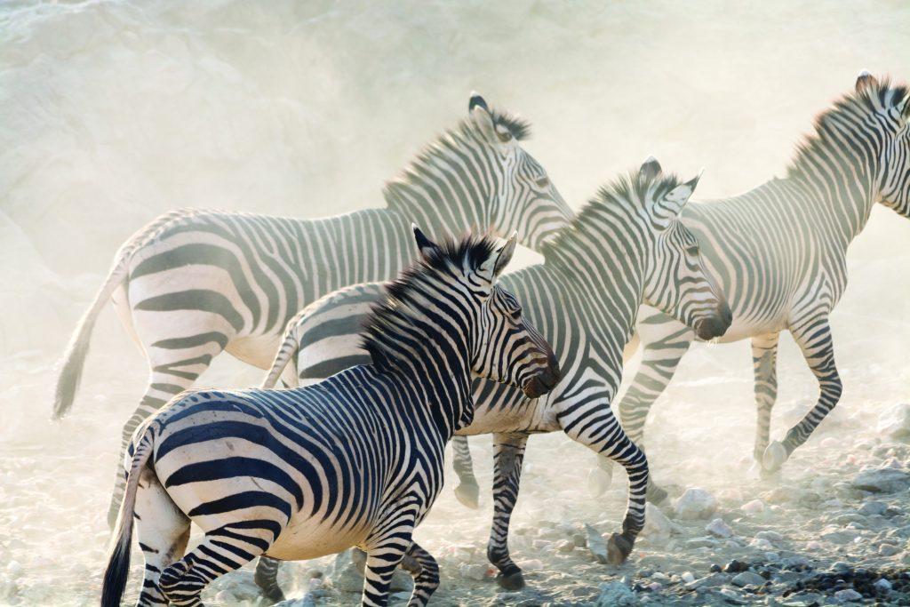 Zebras running, namibia, africa