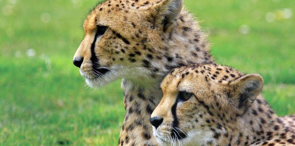 Djuma Cheetahs