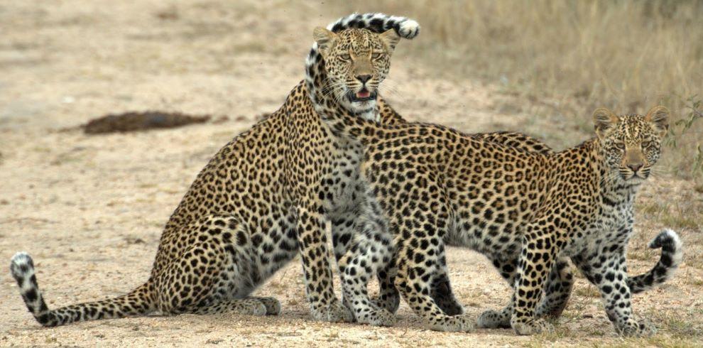 Djuma Leopards