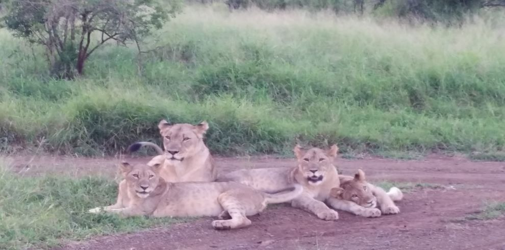 Thanda Lions taken by Michelle