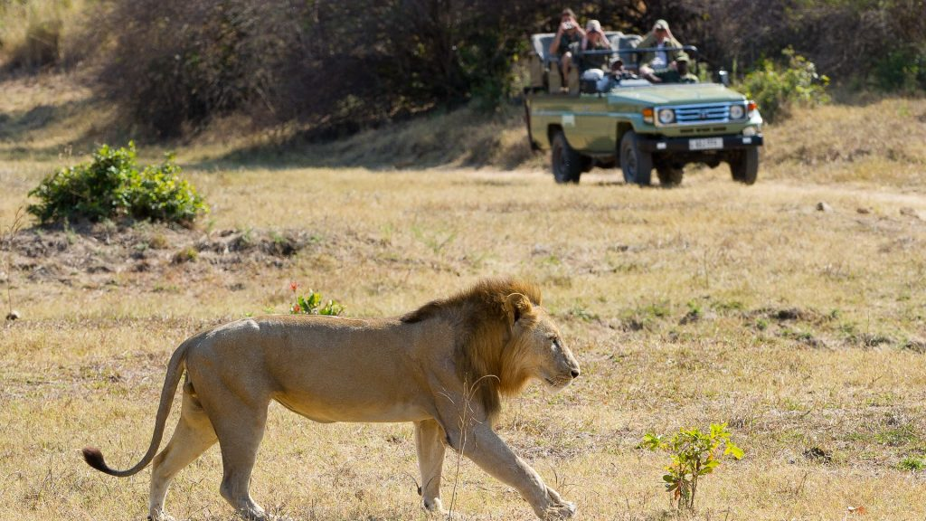 Game drive with lion